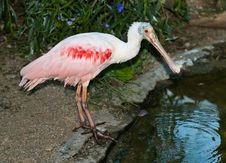 Free Roseate Spoonbill Royalty Free Stock Photo - 21628975