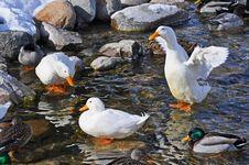 Free White Domestic Ducks With Mallards Stock Image - 21629331