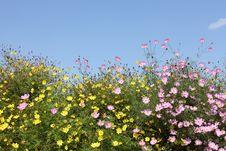 Free Cosmos Flowers Stock Image - 21629501