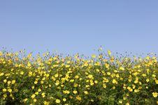 Free Cosmos Flowers Stock Image - 21629521