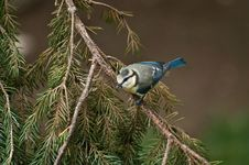Free Blue Tit Stock Photography - 21629572