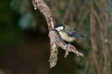 Free Great Tit Stock Photography - 21629582