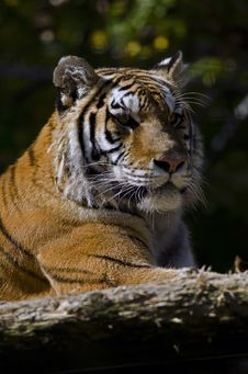 Free Bengal Tiger Portrait Stock Photos - 21631453