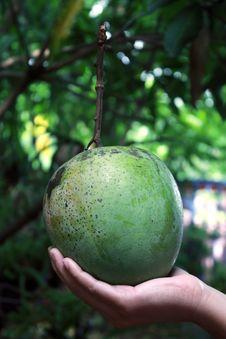Free Mango Royalty Free Stock Image - 21631526