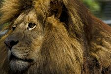 Free Lion Profile Royalty Free Stock Photography - 21631537