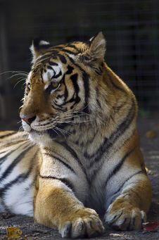 Free Siberian Tiger Stock Photos - 21631593