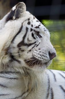 Free White Tiger Stock Photo - 21631650