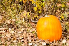 Free Pumpkin Harvest Royalty Free Stock Photography - 21631747