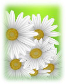 Free Big Camomiles On Green Stock Image - 21635591