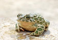 Big Toad Stock Photography