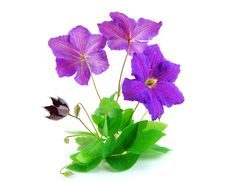 Free Beautiful Violet Flower Isolated On White Stock Images - 21641324