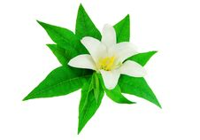 White Lily Isolated On White Background Royalty Free Stock Photography