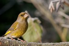 Free Greenfinch Royalty Free Stock Photo - 21642195