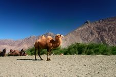 Free Bactrian Camels On The  Nubra Valley Stock Photography - 21642392