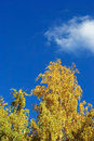 Free Autumn Birch Royalty Free Stock Images - 21653329