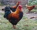 Free Nice Cock Stock Photo - 21654090