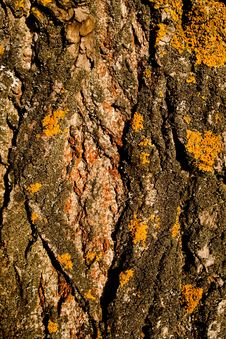 Free Poplar Bark Stock Photo - 21652040