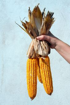 Free Three Ears Of Corn Royalty Free Stock Photos - 21656228