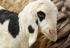 Free White Lamb Stock Image - 21658071