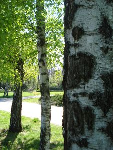 Free Birches Stock Photo - 21658210