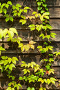 Free Ivy On The Wood  Wall Stock Photo - 21662440