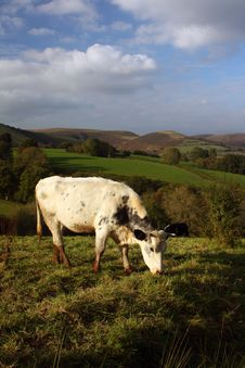 Free Cow Grazing In The Welsh Hills Stock Image - 21666451