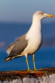 Free Seagull Stock Images - 21667804
