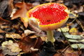 Free Old Fly Agaric Stock Photography - 21673952