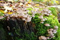 Free Mushrooms On A Mossy Tree Trunk. Royalty Free Stock Photo - 21674005
