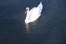 Free Gliding Swan Royalty Free Stock Photo - 21670705