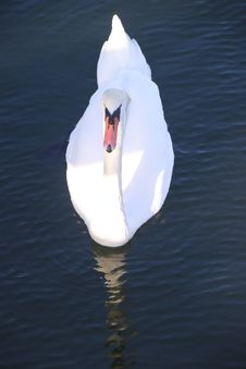 Free Gliding Swan Royalty Free Stock Photography - 21670717
