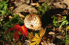 Free Freckled Dapperling (Lepiota Aspera) Stock Photography - 21672512