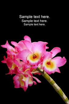 Free Orchidea Phalaenopsis Stock Photography - 21675982