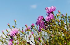 Bush Of Aster In A Garden. Stock Images