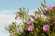 Bush Of The Aster. Royalty Free Stock Photos