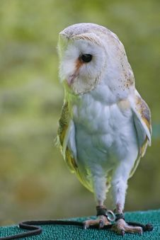 Free Barn Owl Stock Images - 21680254
