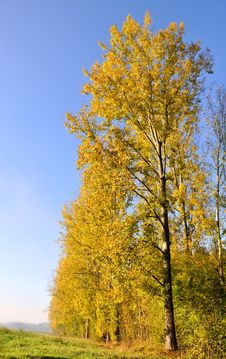 Free Poplars Aligned With Golden Foliage Stock Photo - 21687140