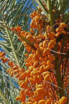 Free A Lot Of Dates On Date Palm Royalty Free Stock Image - 21687196