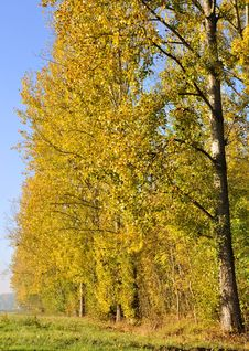 Free Poplars Aligned With Golden Foliage Stock Photography - 21687262