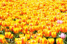 Free Spring Tulip Field Royalty Free Stock Photo - 21688625