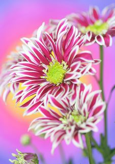 Free Chrysanthemum Flower Stock Photo - 21695510