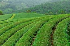 Free Tea Plantation In Chiang Rai, Thailand Stock Image - 21697951