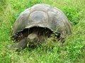 Free Big Land Tortoise Royalty Free Stock Image - 2170796