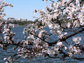 Free Cherry Blossoms 5 Of DC Stock Photos - 2174083