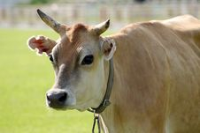 Free Cow Stock Photography - 2170512