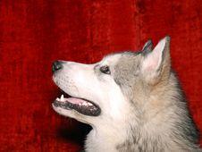 Free Alaskan Malamute 02 Royalty Free Stock Images - 2170599