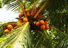 Free Palm Nuts Royalty Free Stock Photos - 2171128