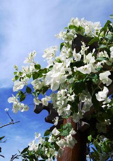 Free White Bouganvillea Stock Image - 2171221