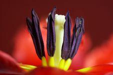 Free Tulip Heart Royalty Free Stock Photo - 2172315