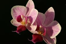 Free Two Violet Orchid Phalaenopsis Royalty Free Stock Photos - 2173138
